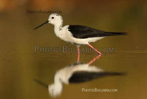 Black-winged Stilt (Himantopus himantopus) Кокилобегач