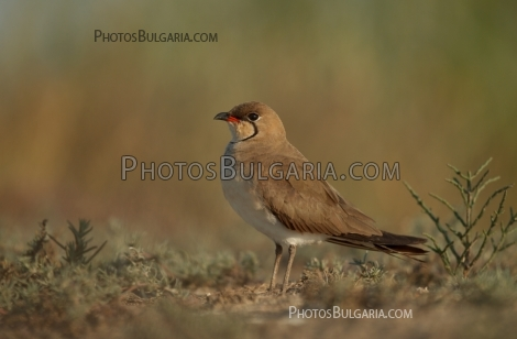 Кафявокрил огърличник (Glareola pratincola) The Collared Pratincole