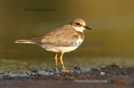 Речен Дъждосвирец Little Ringed Plover (Charadrius dubius)