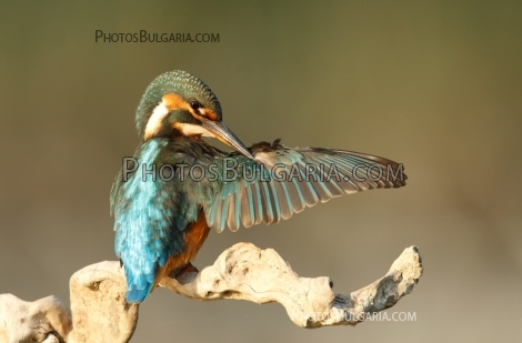 Земеродно Рибарче Kingfisher ( Alcedo Atthis)